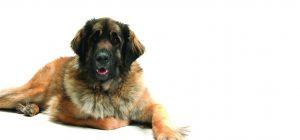 Leo Kiss Dog Training