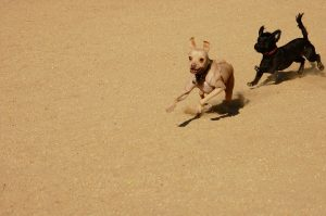 Dogs chasing Kiss Dog Training