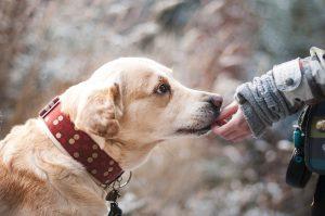 petting dog - kiss dog training