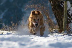 Dog running snow Kiss Dog Training