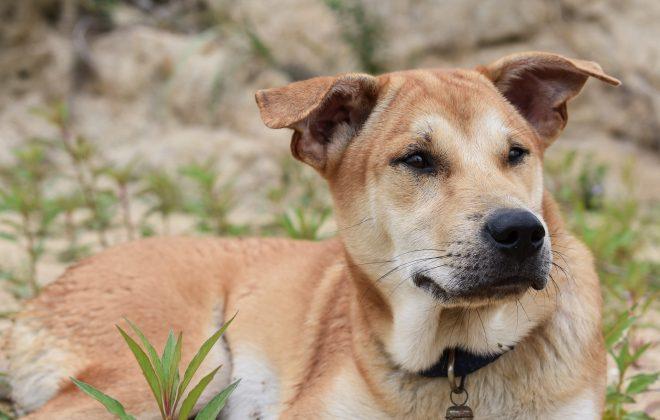 Older dog thinking Kiss Dog Training