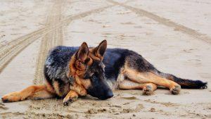 GSD Thinking KISS Dog Training