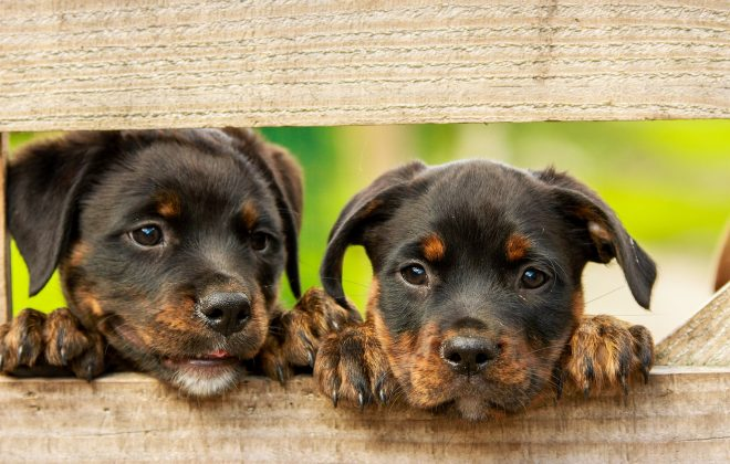 puppies behind fence - Kiss Dog Training