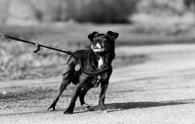 dog on leash-kiss dog training